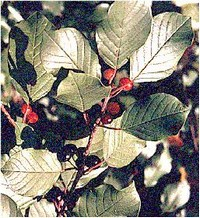 Leaves and berries of glossy buckthorn