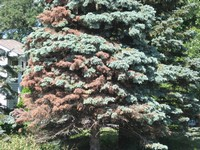 Cytospora Canker on Colorado Blue Spruce