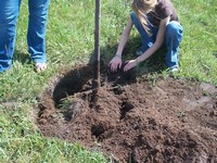 The roots are level to the final grade of the hole.