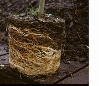 Bound roots which should be cut to encourage new growth photo courtesy of U of Minnesota Professor G
